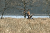 Blauwe kiekendief vrouw – Circus cianeus – Hen Harrier(a1)