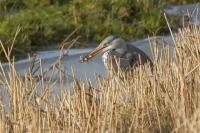 Blauwe reiger met 3 gevangen voorntjes – Ardea cinerea – Great blue Heron.(a)