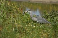 Blauwe reiger vangt muis – Ardea cinerea – Grey Heron with mouse(a)