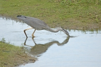 Blauwe reiger vissend – Ardea cinera – Grey Heron fishing(1)