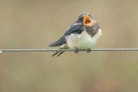 Boerenzwaluw bedelend jong – Hirundo Rustica – Barn Swallow(a)
