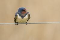 Boerenzwaluw – Hirundo rustica – Barn swallow(a)