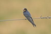 Boerenzwaluw – Hirundo rustica – Barn swallow(a1)