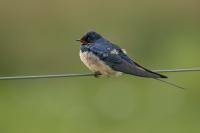 Boerenzwaluw – Hirundo rustica – Barn swallow(a2)
