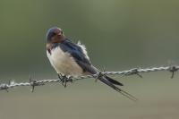 Boerenzwaluw – Hirundo rustica – Barn swallow(a3)