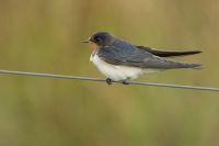 Boerenzwaluw – Hirundo Rustica – Barn Swallow(b)