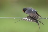 Boerenzwaluw – Hirundo rustica – Barn Swallow spreadingwings