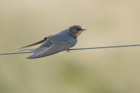 Boerenzwaluw – Hirundo rustica – Barnswallow