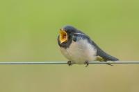 Boerenzwaluw jong – Hirundo rustica – Barn Swallow(a)