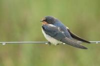 Boerenzwaluw juveniel – Hirundo rustica – Barn swallow(a1)