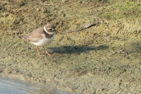 Bontbekplevier – Charadrius hiaticula – Common Ringed Plover(1)