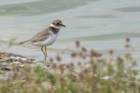 Bontbekplevier – Charadrius hiaticula – Common Ringed Plover(2)