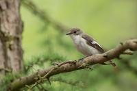 Bonte vliegenvanger man – Ficedula hypoleuca – Pied flycatcher(a2)