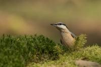 Boomklever alert – Sitta europaea – Eurasian nuthatch(a)