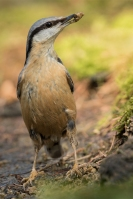 Boomklever met nestmateriaal – Sitta europaea – Eurasian nuthatch(1)