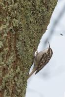 Boomkruiper vond niets eetbaars – Certhia brachydactyla – Tree creeper(a)