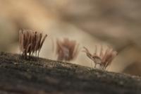 Bruin netpluimpje – Stemonitis virginiensisRex(a)