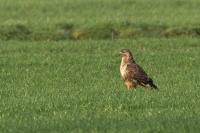 Buizerd – Buteo buteo -Common Buzzard(b)