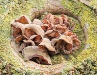 Echte Judasoren in stam van de boom – Auricularia-judea (a)
