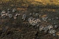 Gedrongen mollisia – Mollisiacinerea(a)