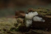 Gewoon ijsvingertje – Ceratiomyxafruticulosa