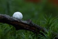 Klein oorzwammetje rugzijde – Crepidotus epibryus – Grass Oysterling(a)