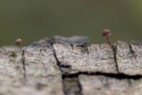 Kleine bloedsteelmycena – Mycena sanguinolenta(a)