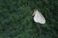 Kleine wintervlinder – Operophtera brumata(b)