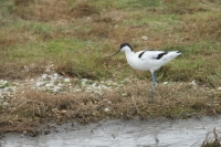 Kluut aan de wandel – Recurvirostra avosetta – Piedavocet(a)