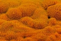 Oranje slijmzwam opzoeken0213