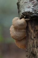 Scherpe schelpzwam – Panellus stipticus(b2)