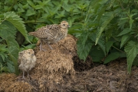 Fazant jongen – Phasanius colchicus – Common Pheasant(a)