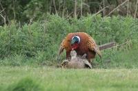 Fazant paring – Phasianus colchicus – Common Pheasant(a)