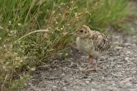 Fazantje met buit – Phasanius colchicus – Common Pheasant yougone