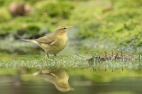 Fitis – Phylloscopus Trochilus – Willow Warbler(a)