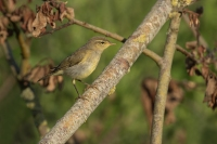 Fitis – Phylloscopus Trochilus – Willow Warbler(a1)