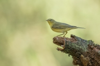 Fitis – Phylloscopus Trochilus – Willow Warbler(a2)
