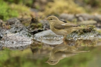 Fitis – Phylloscopus Trochilus – Willow Warbler(a3)