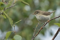 Fitis – Phylloscopus Trochilus – Willow Warbler(a4)