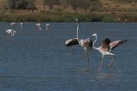Flamingo dans – Phoenicopterus – Europian-backed Green Flamingo(a1)