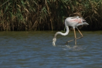 Flamingo foeragerend – Phoenicopterus – Europian-backed Green Flamingo(a)