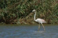 Flamingo – Phoenicopterus – Europian-backed Green Flamingo(a)
