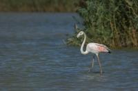 Flamingo – Phoenicopterus – Europian-backed Green Flamingo(a2)