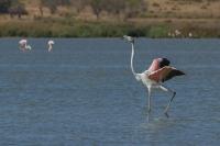 Flamingo – Phoenicopterus – Europian-backed Green Flamingo(b)