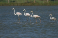 Flamingo's met jong – Phoenicopterus – Europian-backed Green Flamingo(a)