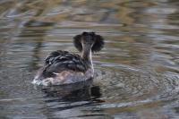 Fuut admiraalhouding – Podiceps critatus – Great Crested Grebe(a)