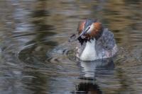 Fuut baltsgedrag – Podiceps cristatus – Great crested Grebe(a2)