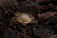 Gewimperde aardster – Geastrum fimbriatum – Sessile Earthstar(a)