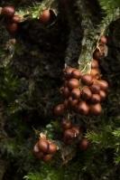 Glanzend druivenpitje – Leocarpus fragilis – Fragile Slime Mold(a)