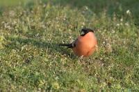Goudvink man foeragerend – Pyrrhula pyrrhula (a) – Eurasianbullfinch(a3)